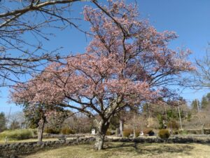 大室山 さくらの里 桜