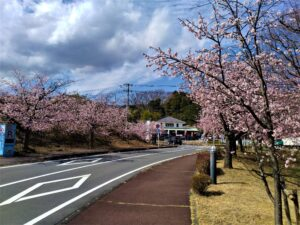 伊豆高原おおかん桜