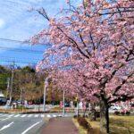 伊豆高原駅周辺 伊豆高原おおかん桜