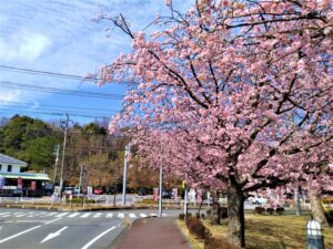 伊豆高原 おおかん桜