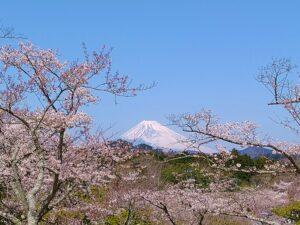 大室山からの富士山 桜